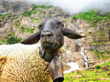 A white sheep with a black head grazes in the mountains.. - 241668146