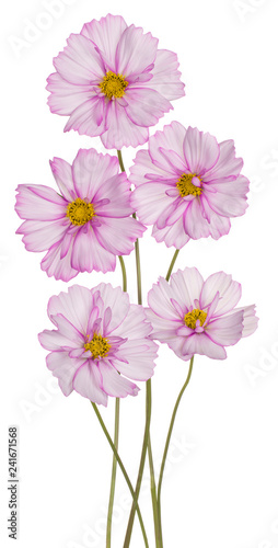cosmos flowers isolated - 241671568