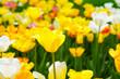 Leinwanddruck Bild - チューリップ咲く昭和記念公園