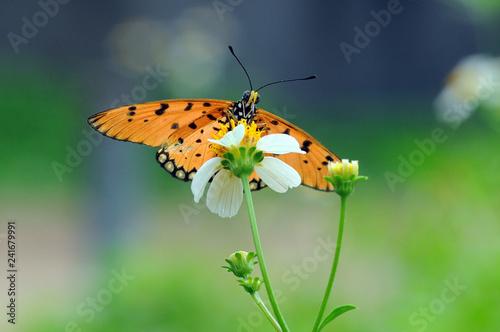 butterflies perch on flowers - 241679991