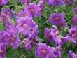 Bodziszek tworzy piękny dywan z małych, fioletowych kwiatków, płatki pomalowane w delikatne paseczki odchodzące od środka ku zakończeniom płatków