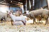 Un agneau et une brebis dans une ancienne bergerie - 241692103