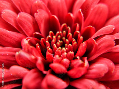 Chrysanthemum - 241698983