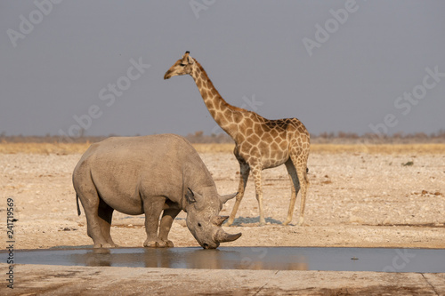 A rhinoceros and giraffe at the pond