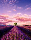 Fototapeta Lawenda - Tree in lavender field at sunset in Provence © Anton Gvozdikov