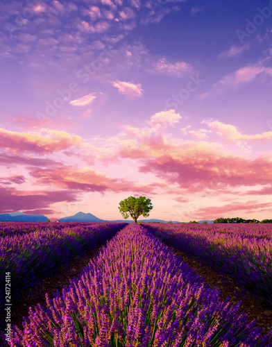Tree in lavender field at...