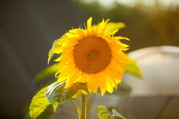 natural background image of beautiful yellow sunflower