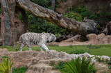 Exotic white tiger  in outdoor Zoo.