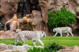 Two white tigers  in outdoor Zoo.