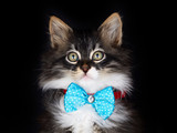 Pet animal; cute cat indoor. Cute kitten cat. - 241729336