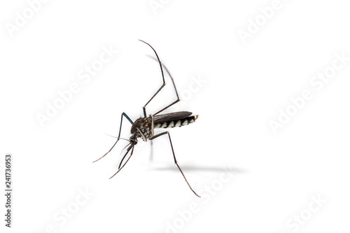 close-up of mosquito isolated on white background - 241736953
