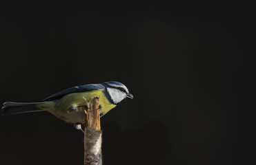 Blue tit sits on a broken branch on a black background... © chermit