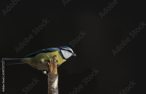 Blue tit sits on a broken branch on a black background... - 241737772