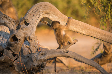 A baby baboon is exploring its surroundings