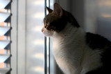 White and brown tabby cat looking through the window, illuminated by sunset light. Selective focus. - 241743702
