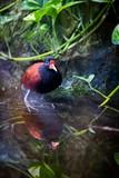 Oiseau Jacana noir