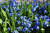 Many blue scilla siberica or siberian squill spring flowers background