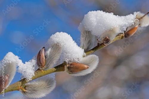 Weidenkätzchen, Salix, mit Schneebedeckung