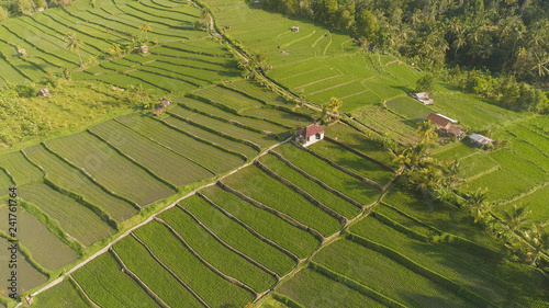 green rice terraces, fields and agricultural land with crops. aerial view farmland with rice terrace agricultural crops in countryside Indonesia,Bali