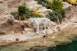 white tiger, bengal tiger - white bengal tiger -