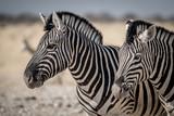 Fototapeta Sawanna - Plains Zebra © Matthias
