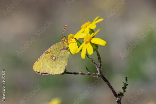 Pieridae / Sarı Azamet / / Colias crocea - 241779571