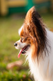 Papillon dog is having fun outside, playing with ball and running.