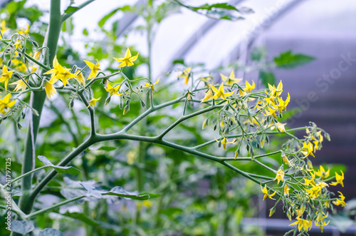 Small yellow flowers on bushes of tomatoes