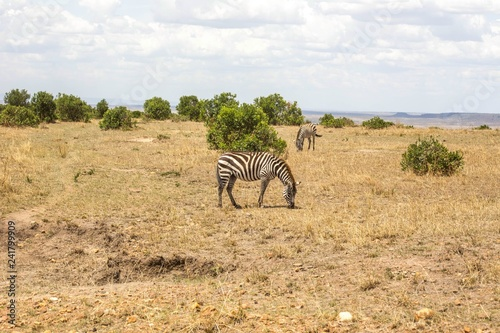 Zebra - 241799909