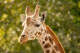 Giraffe  - 241804716