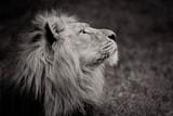 Lion - 241804785
