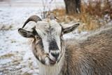 Pedigree motley goat on the late autumn pasture. Pet graze on the street - 241816554