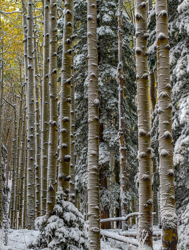 Aspen Trees in a Fall Snowstorm - 241817149