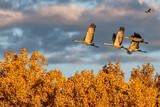 Sandhill Cranes Flocking at the Refuge - 241818989