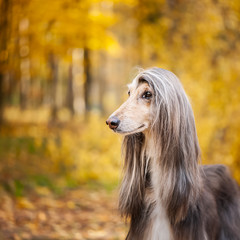Dog, gorgeous Afghan hound, portrait, against the background of the autumn forest, space for text © Mariana