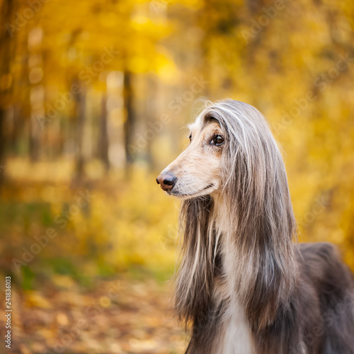 Dog, gorgeous Afghan hound, portrait, against the background of the autumn forest, space for text - 241836103