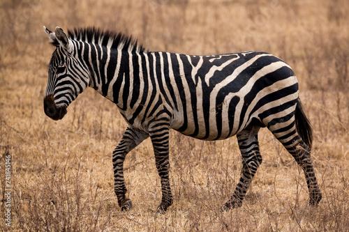Zebra (Equus quagga) - 241845146
