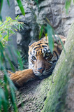 Sumatran tiger. It lives in Asia, in the tropical forests of the Indonesian island of Sumatra. Of the six tiger subspecies that still exist, the Sumatran tiger is however the smaller one