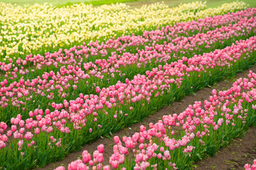 Pink tulips in the flower garden