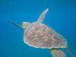 Turtle, Caraibes