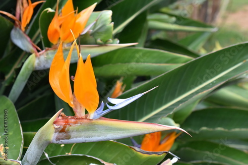 Bird of paradise flowering plant Strelitzia reginae - 241875960