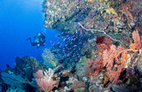 Diver near colorful coral reef - 241876392
