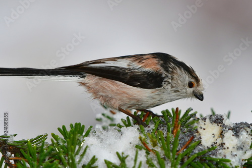Foto Murales snowy spruce branch and cute bushtit eating poppy seeds