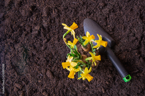 Spring time, planting seasonal plants.Narcissus. Gardening.