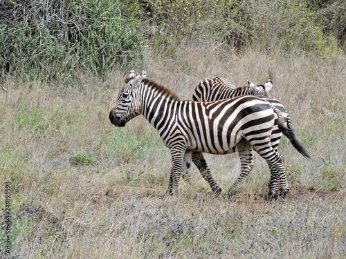 Zebras in der Savanne Afrikas - 241893598
