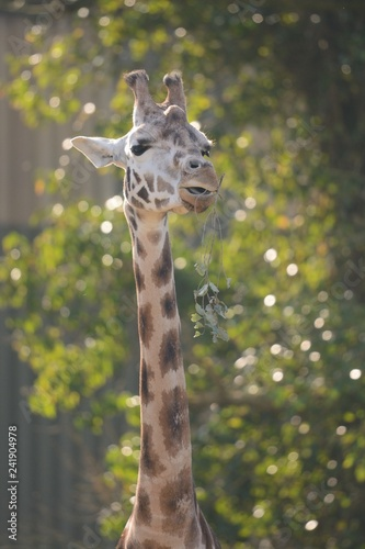 Portrait of a giraffe in the tree tops