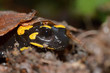 The fire salamander Salamandra salamandra is possibly the best-known salamander species in Europe. It is black with yellow spots or stripes