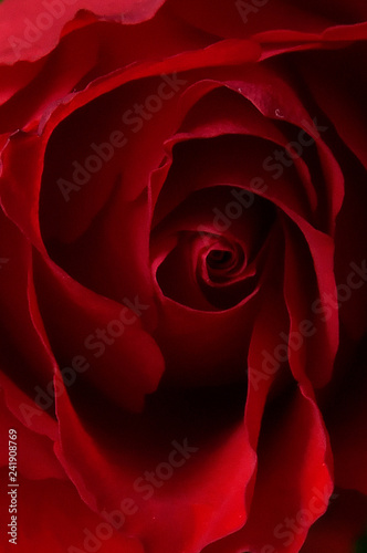 Valentine's day red rosy still life - 241908769