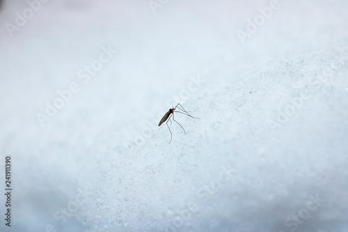 Leinwandbild Motiv A large mosquito on snow.