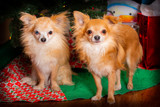 Pair of Chihuahua dogs - 241917799